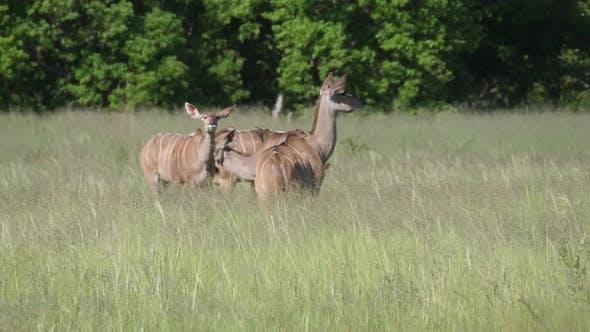 Thumbnail for Herd of femal greater kudus
