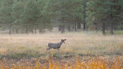 Mule Deer in Meadow Looking Around