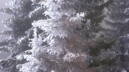 Hoarfrost Accumulating on Pine Tree Leaves