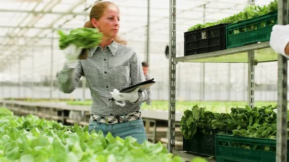 Thumbnail for Agricultural Female Worker Typing Data on Tablet of Organic Green Salad