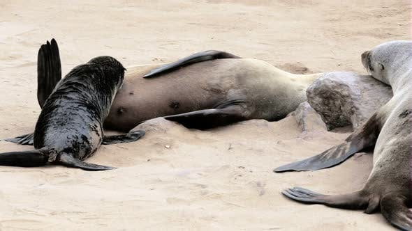 Thumbnail for small baby of Brown fur seal drinking milk from mother, sea lions in Namibia