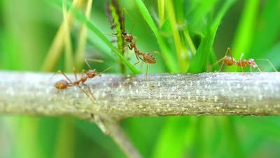 red ant colony on branch