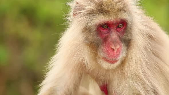 Thumbnail for Japanese Macaque In Nature