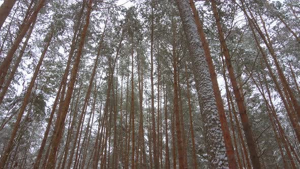 Thumbnail for Winter Pine Forest Panoramic Video