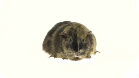 Thumbnail for Short-haired Guinea Pig on a White Background in Studio