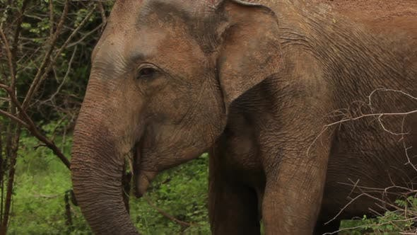 Thumbnail for Animals of Sri Lanka. Elephant in the Jungle. Close-up
