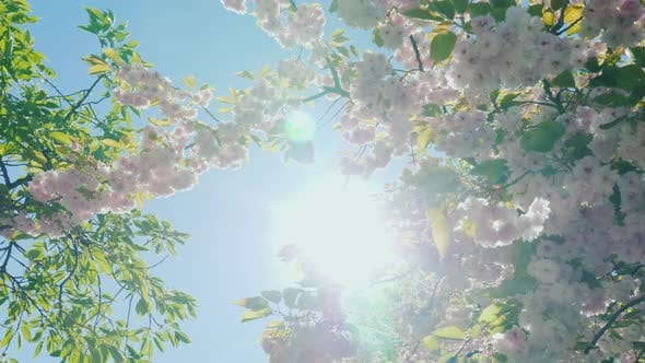 Thumbnail for Steadicam Shot: Sun Rays Make Their Way Through the Branches of Sakura Blooming