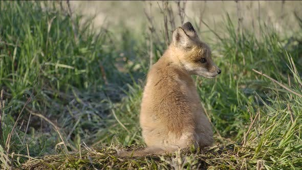 Thumbnail for Red Fox Young Pup Lone Sitting Looking Around in Spring in South Dakota