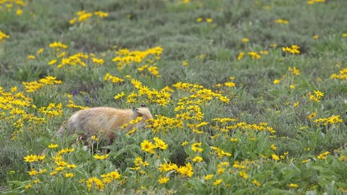 Red Fox walking through field of yellow flowers while it hunts