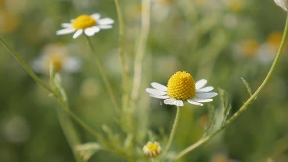 Thumbnail for Herbaceous common Chamomile spring flowers 4K 2160p 30fps UltraHD footage - Matricaria recutita plan