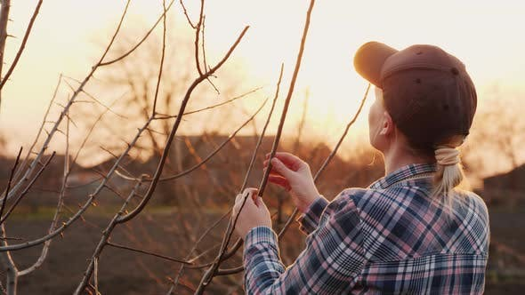 Thumbnail for Young Woman Gardener Examines Tree Branches in the Garden