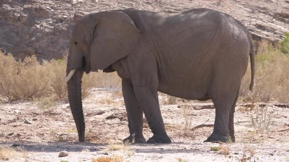 Elephant eating in from the dry Hoanib Riverbed