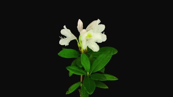 Time-lapse of opening white rhododendron