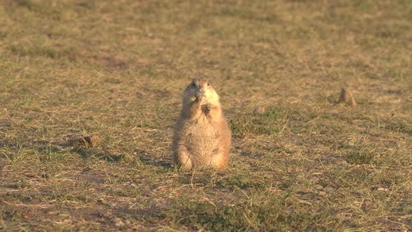 Cover Image for Black-tailed Prairie Dog Adult Lone Standing Walking in Summer in South Dakota