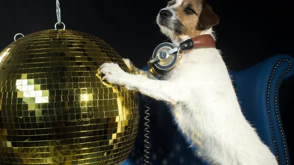Thumbnail for Dog Gold Disco