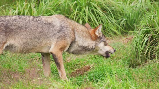Wolf Eating Meat in Forest