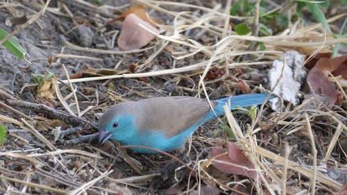 Blue Waxbill auf der Suche nach Lebensmitteln