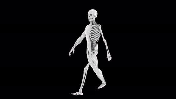 Thumbnail for 4K Male Anatomy Walk