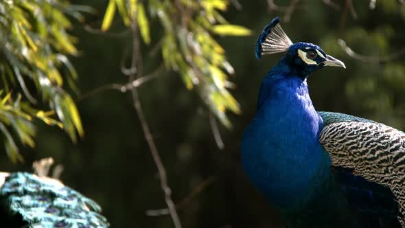 Thumbnail for Peacock In Nature