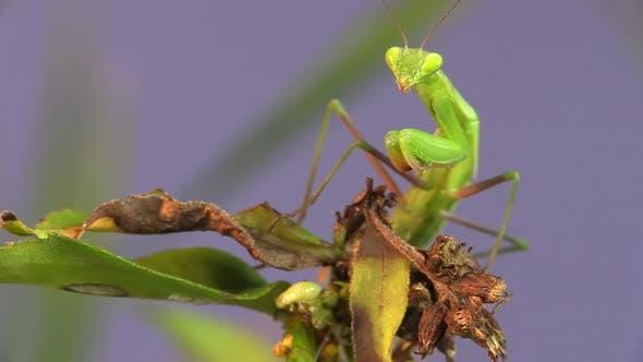 Thumbnail for Praying Mantis Adult Lone Hunting Foraging in Summer in South Dakota