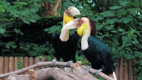 Pair of Wreathed Hornbill Scientific Name Rhyticeros Undulatus Birds at Zoo