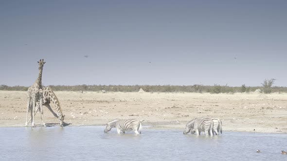 Thumbnail for Zebras and Giraffe at a Waterhole