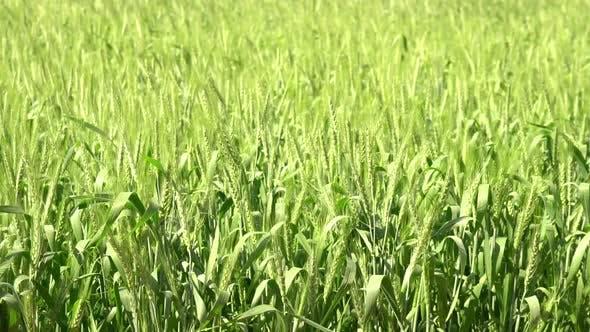 Thumbnail for Barley Farm