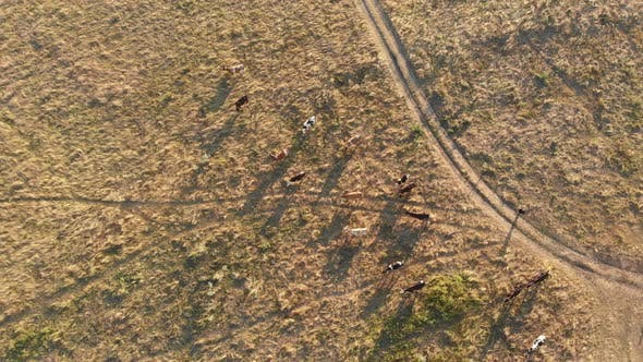 Aerial View of a Herd of Cows Grazing in the Ukrainian Village on Countryside