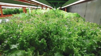Seedlings Of Lettuce Growing In Vertical Farm