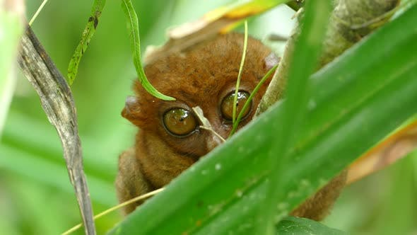Philippine tarsier one of the smallest primates looking around with his big eyes