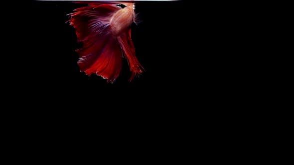 Siamese Fighting Fish Betta Splendens 06