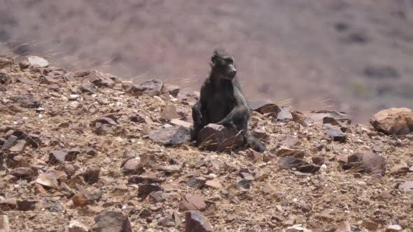 Baboon Sits on A Rock on The Dry Savanna