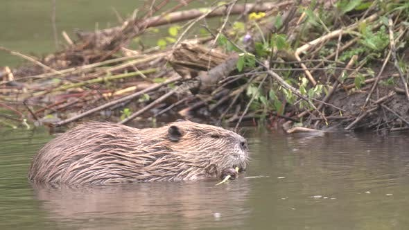Thumbnail for Beaver Adult Lone Eating Chewing Gnawing in Summer Branch Stick