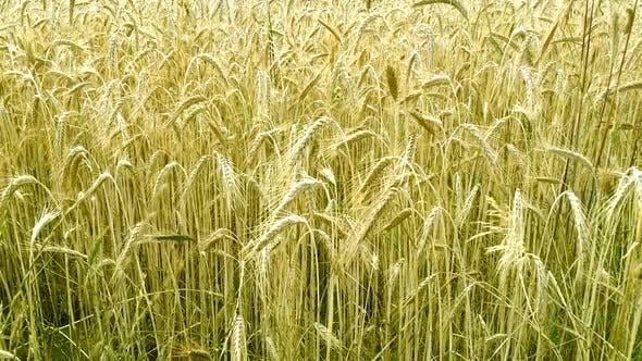 Winds of grain swinging in the wind.