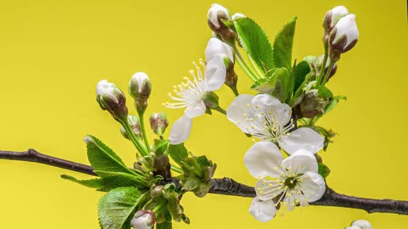 Thumbnail for Blossoming Apple-tree Time Lapse on Yellow Background