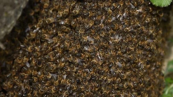 Thumbnail for Braune Bienen