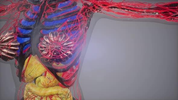 Thumbnail for Human Body Model Illustration