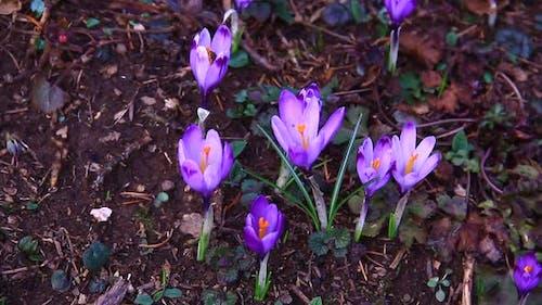 Pink Saffron on the Ground