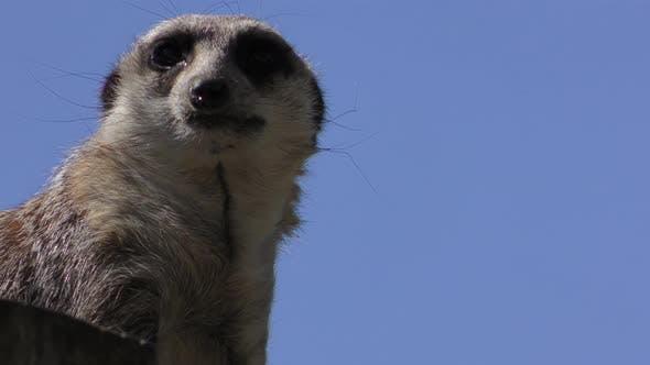 Meerkat Adult Alone Looking Around
