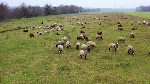 Sheeps kept as livestock. White and brown domestic animals feeding on a meadow.