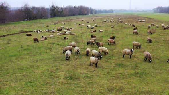 Die Schafe werden als Vieh gehalten. Weiße und braune Haustiere ernähren sich auf einer Wiese.