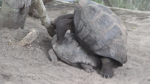 Thumbnail for The Galápagos tortoise mating at Isabela