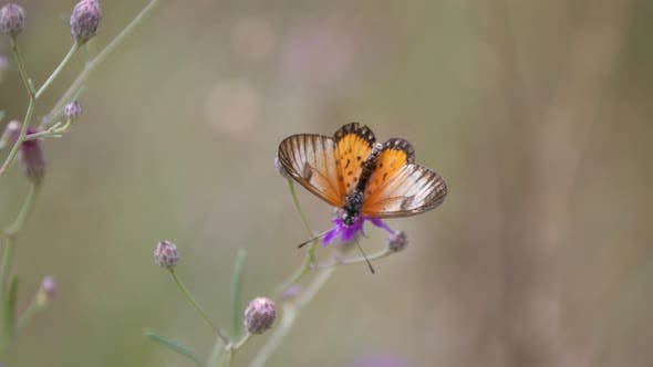 Thumbnail for Butterfly on a purple clover flying away