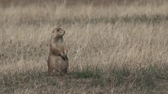 Thumbnail for Black-tailed Prairie Dog Adult Lone Standing in Winter in South Dakota