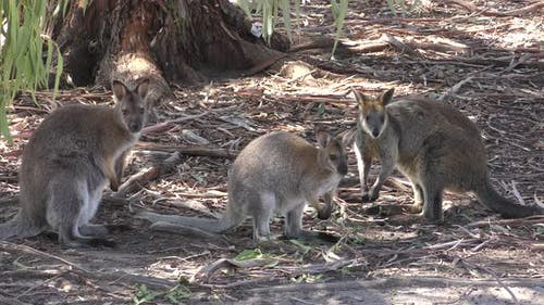 Red-necked Wallaby Adult Immature Pair Foraging Looking For Food