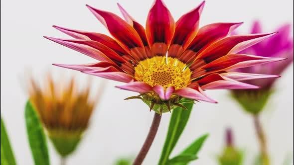 Thumbnail for Gerbera Flower on White