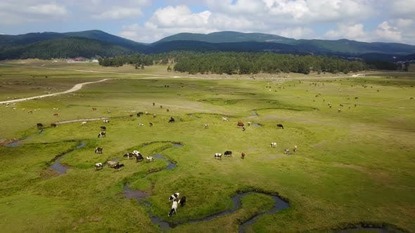 Thumbnail for Grassing Cows Beautiful Tranquil Green Land Forest Mountains Drone View