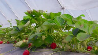 Ripe and Unripe Strawberries Growing at Greenhouse