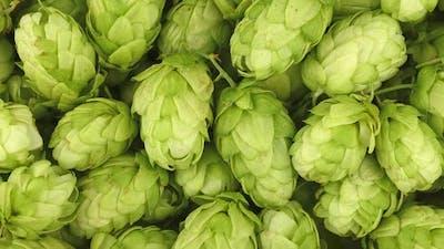 Fresh green beer hops background