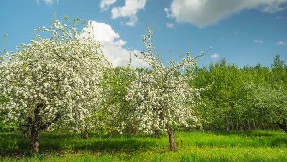 Thumbnail for Bloom Apple